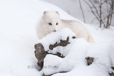 Artic Fox Photography