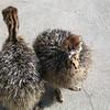 baby Ostriches in Aruba