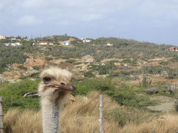 Ostrich in Aruba