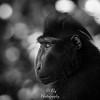 Macaque Mohawk