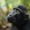 Female Black Macaque