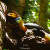Foraging Father Hornbill