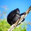 Black Macaque Beneath Blue Sky