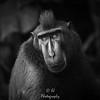 Black Macaque Portrait