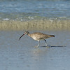 Curlew