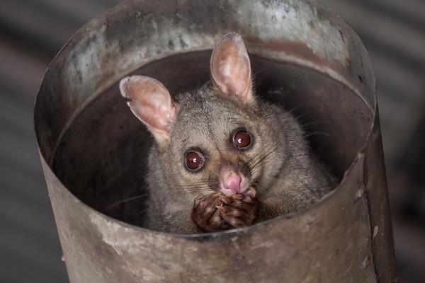 Possum - Echuca, Victoria