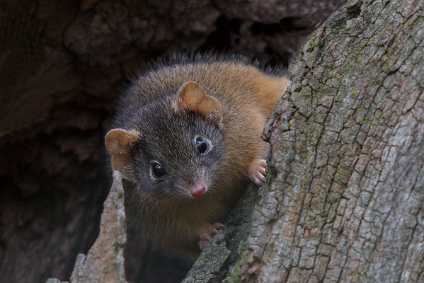 Yellow-footed Antechinus (Antechinus flavipes) - Chiltern, Victoria