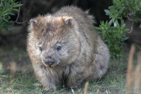 Wombat - Maria Island, Tasmania