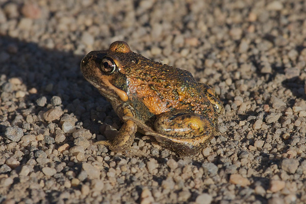 Frog - Werribee Treatment Plant, Victoria