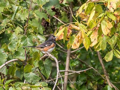 Audrey Carroll Audubon Sanctuary-3Sep2017-6010