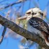 Sunlit Kookaburra