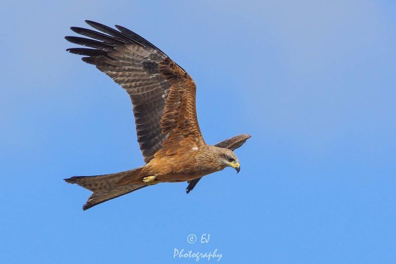 Scavenging Black Kite