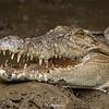 Gaping Saltwater Crocodile