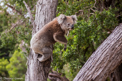 Leaping Koala (Phascolarctos cinereus)