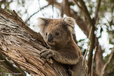 Koala (Phascolarctos cinereus)