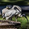Australian white ibis (Threskiornis moluccus). Brisbane Botanic Garden, Australia.