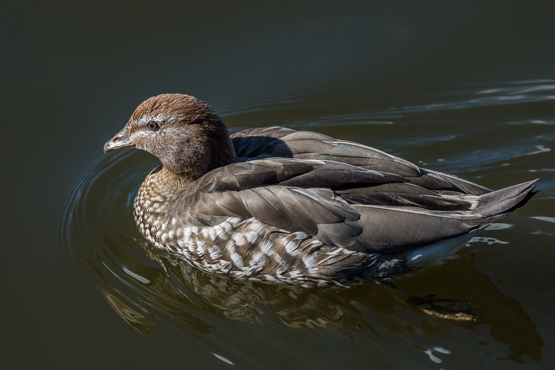 Australian wood duck (Chenonetta jubata) female. Roma Street Parkland, Queensland, Australia.