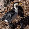 Little pied cormorant (Microcarbo melanoleucos ssp. melanoleucos). Roma Street Parkland, Brisbane, Australia.