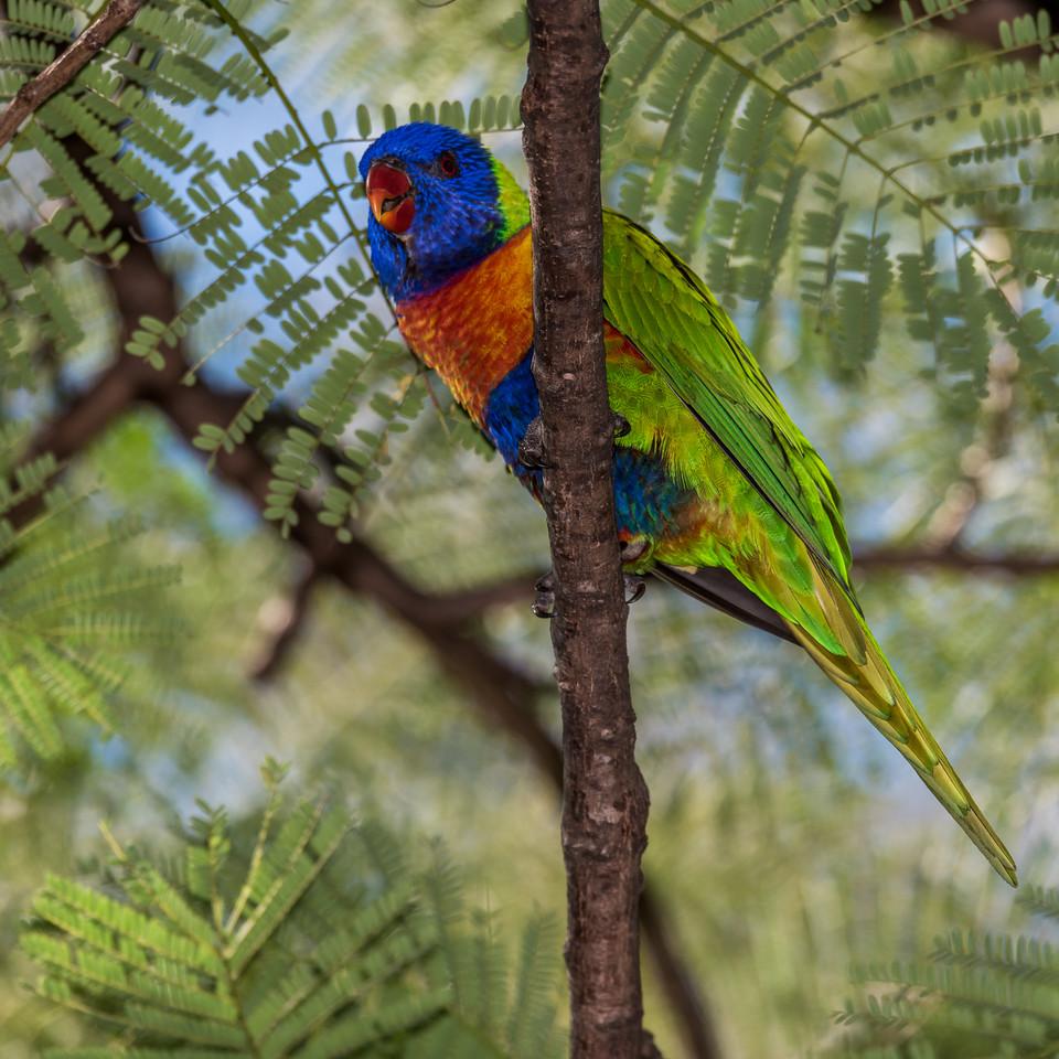Rainbow lorikeet (Trichoglossus haematodus). Brisbane Botanic Garden, Australia.