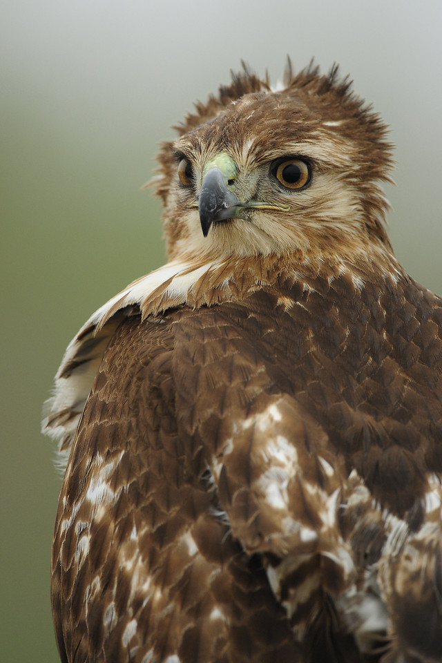Red-tailed hawk portrait, Southeastern Texas.