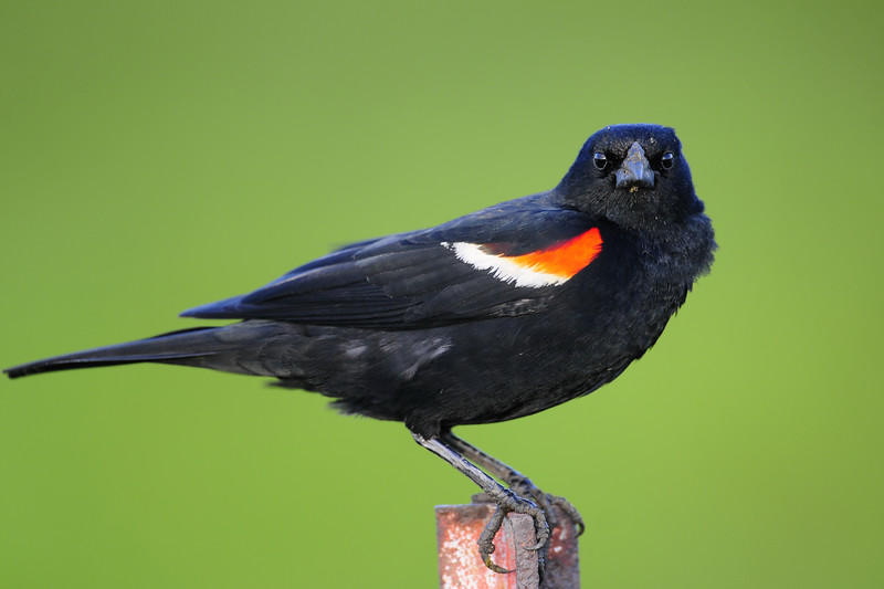 A red-winged blackbird giving me the stare down, Wisconsin.