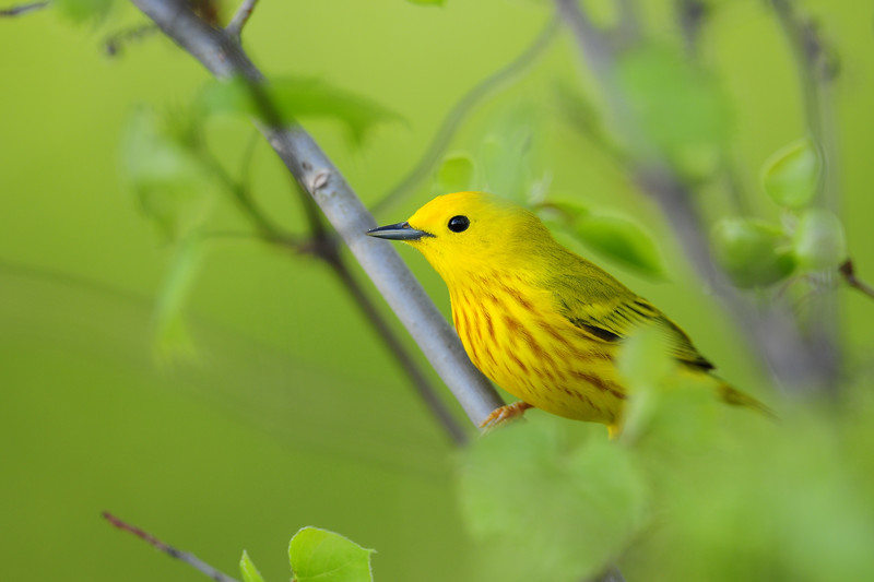Male yellow warbler darting through the underbrush, Wisconsin.