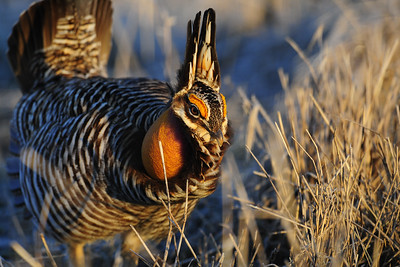 A male greater prairie chicken booming, Wisconsin.