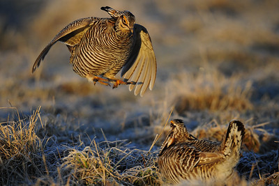 A pair of greater prairie chickens fighting on their booming grounds in Central Wisconsin.