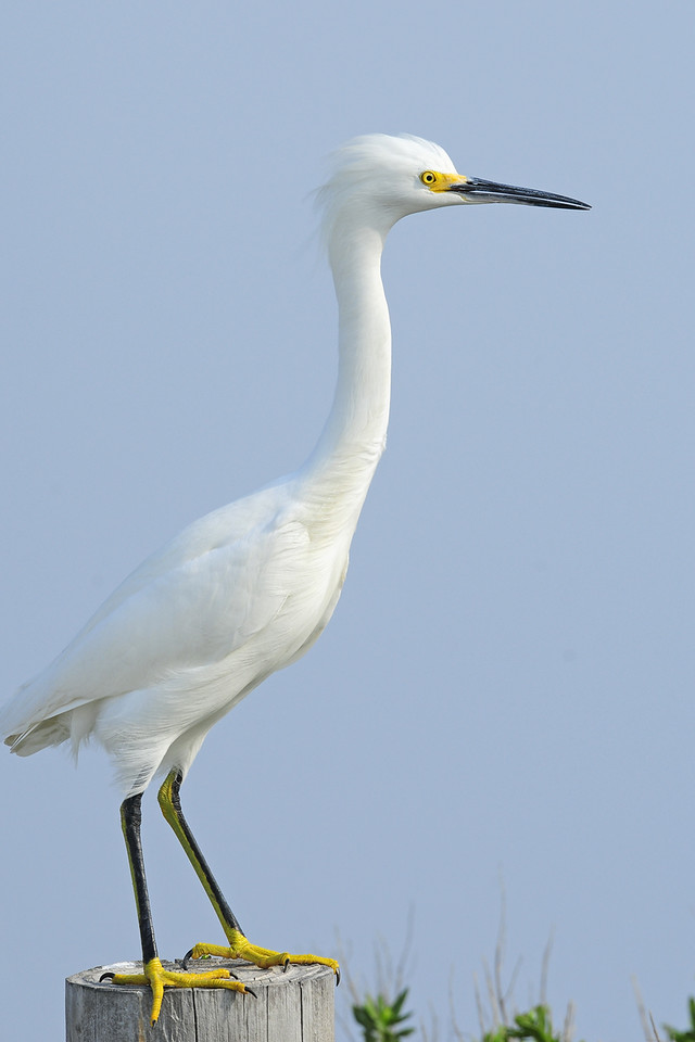 Snowy egret on a seaside post in Anahuac NWR, Texas.