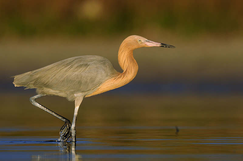 Reddish egret stalking the shallows of a Florida lagoon.