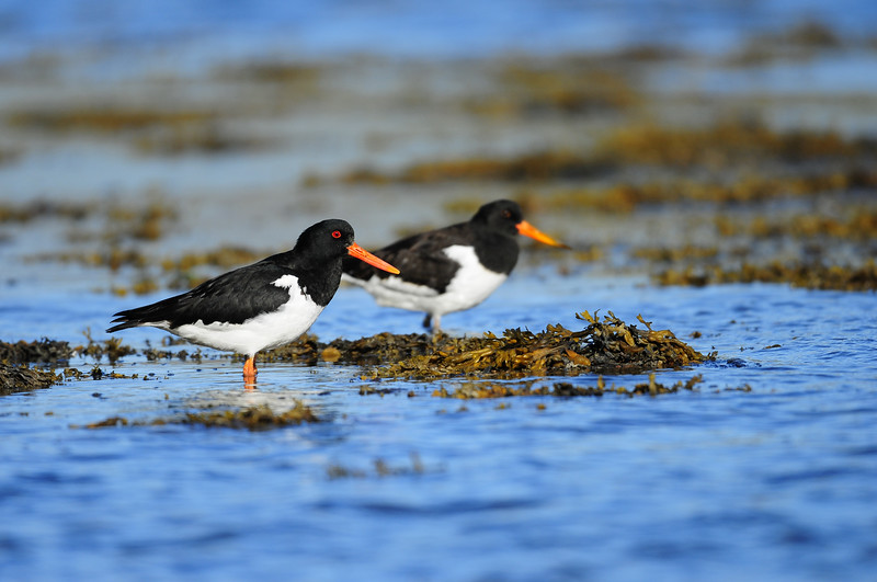 A pair of European oystercatchers along the coast of Iceland.