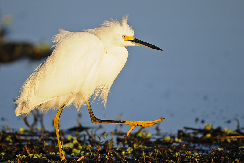 Snowy egret hunting along a marsh in Brazos Bend State Park.