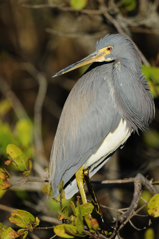 Tricolored heron perched in the mangroves of Merritt Island National Wildlife Refuge, Florida.