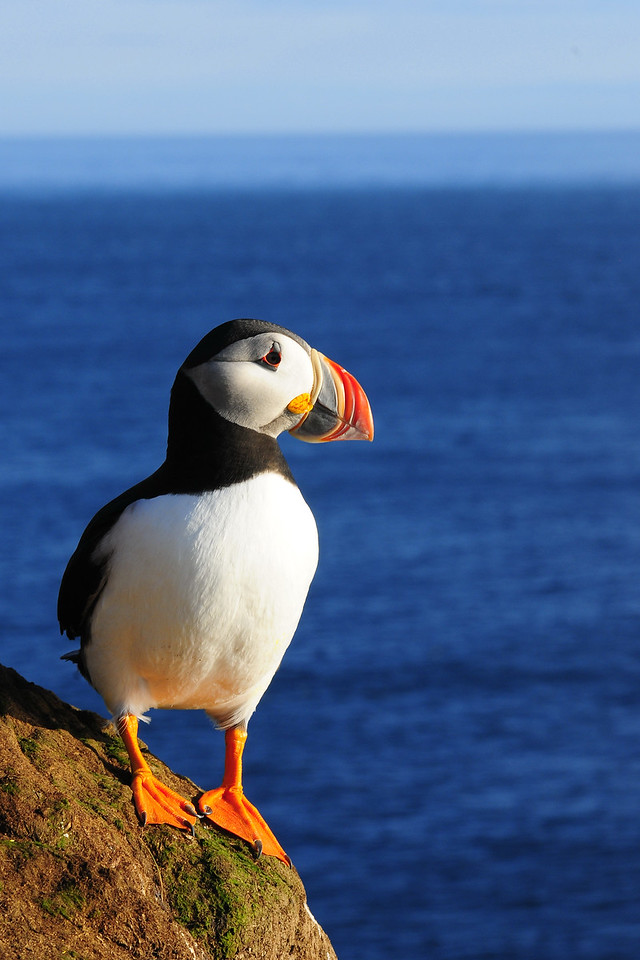 An Atlantic puffin along the sea cliffs of Látrabjarg, Iceland.