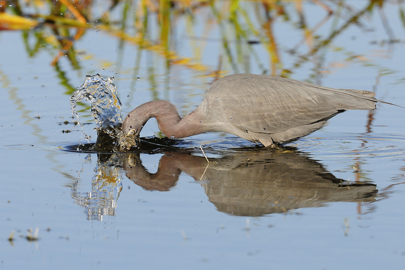 Little blue heron fishing in Viera Wetlands in East Florida.