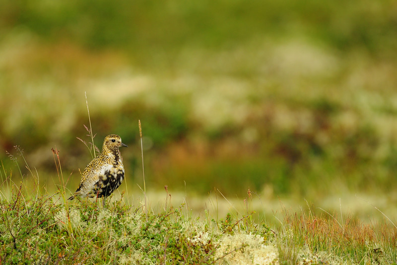 An European golden plover on its nesting grounds near Lake Myvatn, Iceland.