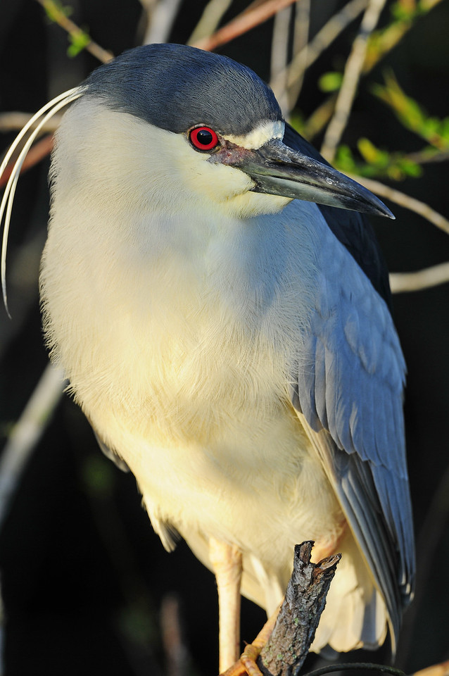 Blac-crowned night heron perched along a pond in Everglades National Park.
