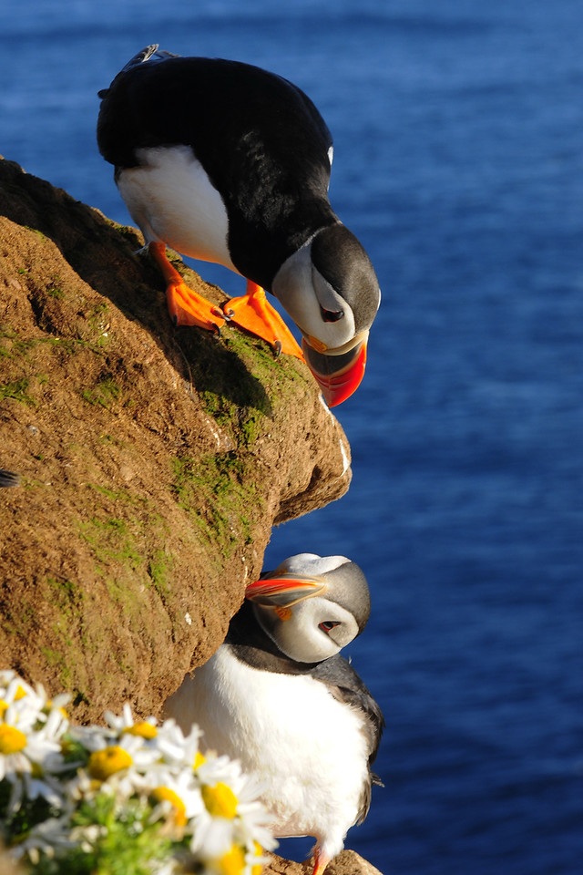 Atlantic puffins along the sea cliffs of Látrabjarg, Iceland.
