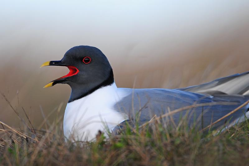Sabine's gull on a nest, Yukon-Kuskokwim River Delta NWR, Alaska.