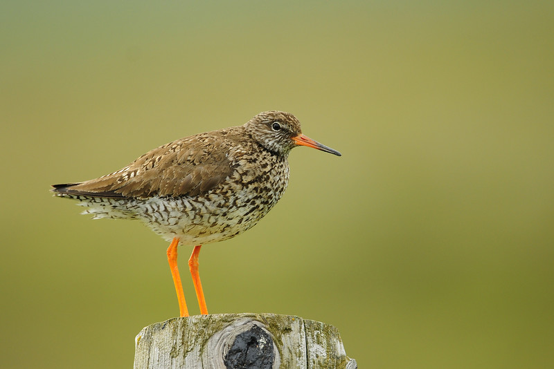 Common redshank on a roadside fencepost, Iceland.