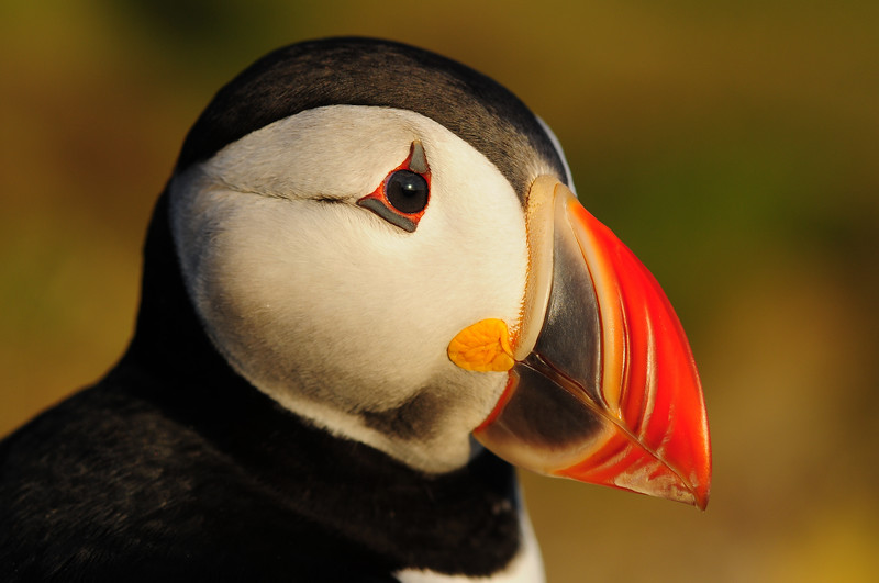 An Atlantic puffin along the cliffs of Látrabjarg, Iceland.