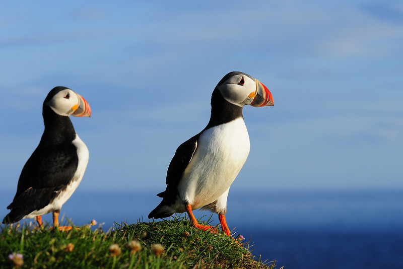 A pair Atlantic puffins along the cliffs of Látrabjarg, Iceland.