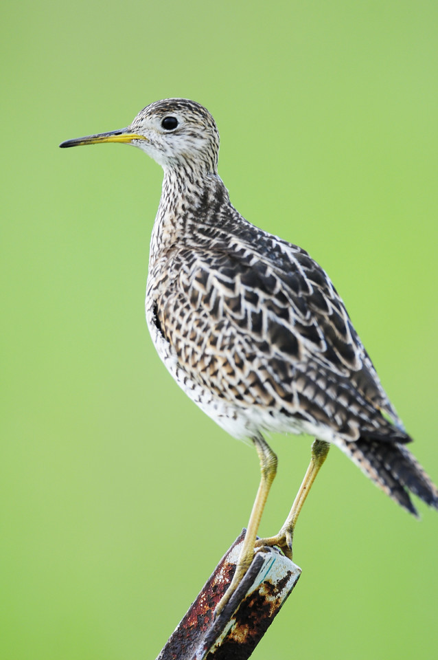 Upland sandpiper perched along a road in Central Wisconsin.