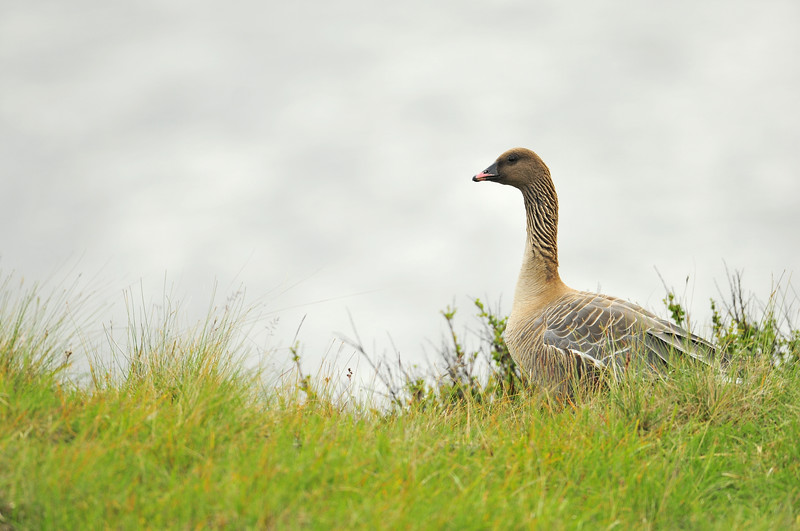 Pink-footed goose near Lake Myvatn in Northeast Iceland.