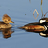 A pair of hooded mergansers on a East Florida wetlands.