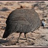 African guineafowl