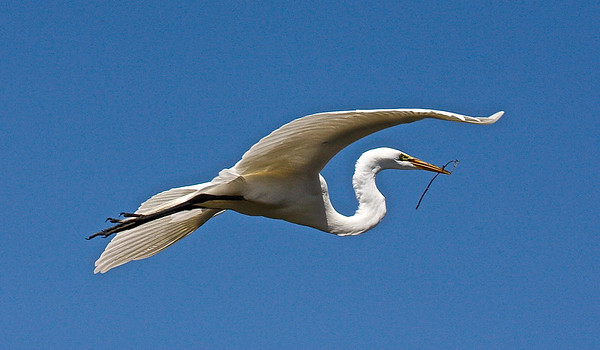 Great Egret in Flight with Stick