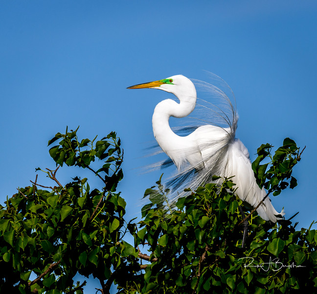 Great Egret Plumes