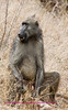 Old Male Baboon Kruger Park South Africa