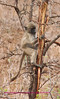 Baby baboon climbing tree recently damaged by elephant Kruger Park South Africa
